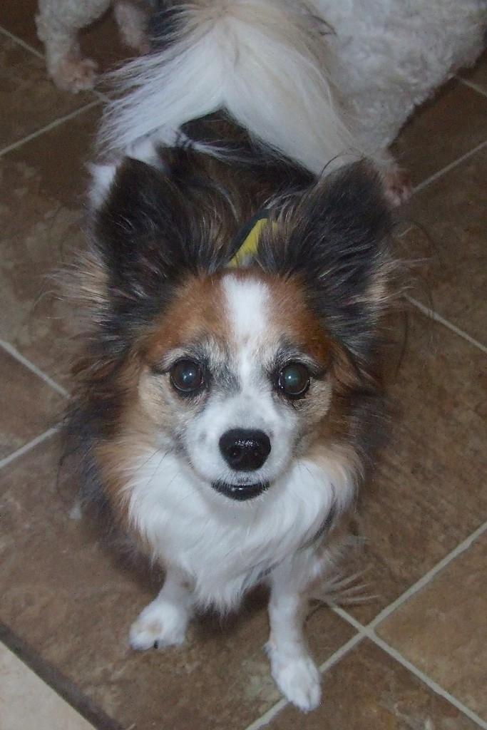 Foster Home For  Papillon Dogs